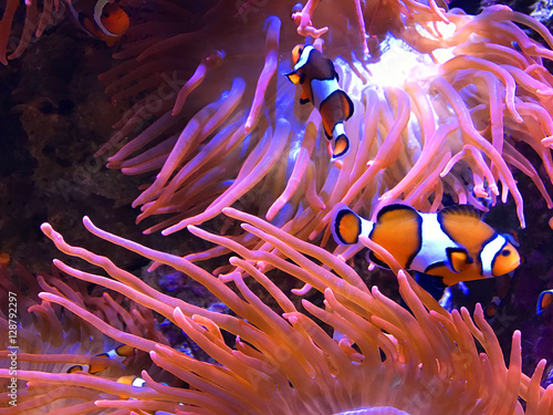 Clown fish and anemones buy photos ap images detailview for Buy clown fish