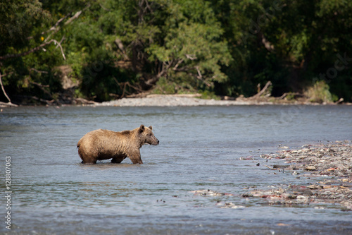 Poster Wild brown bear to wade through the river