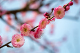 plum branch in full bloom