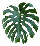 Monstera large green leaf, tropical jungle design, Swiss Cheese Plant, isolated on white background - 128822810