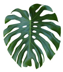 Monstera large green leaf, tropical jungle design, Swiss Cheese Plant, isolated on white background
