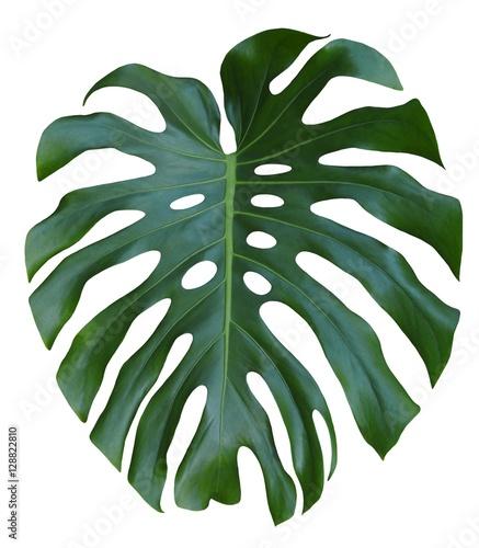Monstera duży zielony liść, projekt tropikalnej dżungli, szwajcarski ser roślin, na białym tle