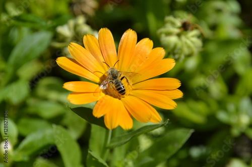 Poster Пчела на цветке