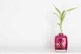 Lucky bamboo in pink vase (Dracaena sanderiana)