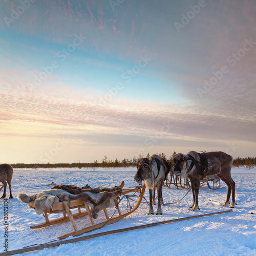 Valokuva Northern deer in harness on snow