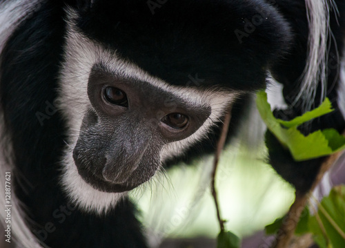 Poszter Male Mantled Guereza