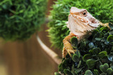 iguana lizard close-up