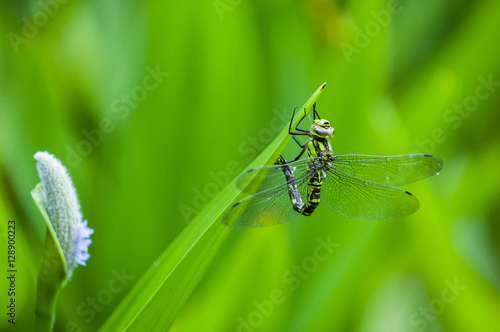 Poster Blue tailed Damselfly on blurred background