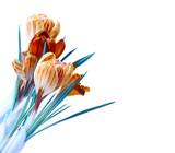 spring color crocus flower bouquet isolation - 128900632