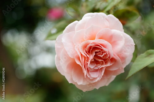 Close-up of Abraham darby rose, English rose breeder by David Austin Poster