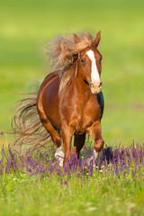 Red horse with long mane run gallop in flowers