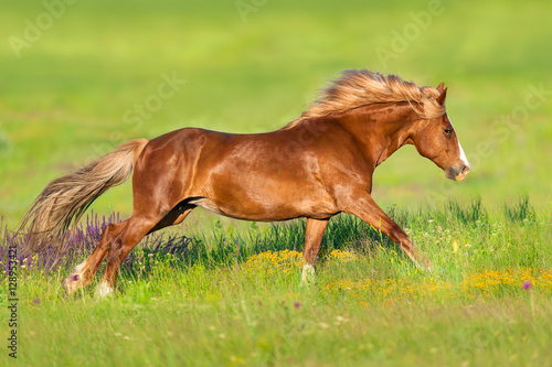 Red horse with long mane run gallop in flowers Poster