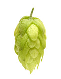Hop cone isolated on white background - 128953898