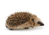Young hedgehog isolate on the white background - 128962804