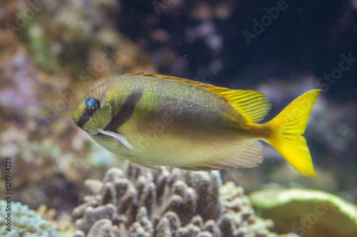 Foto op Plexiglas Indonesië Scribbled rabbitfish (Siganus doliatus)