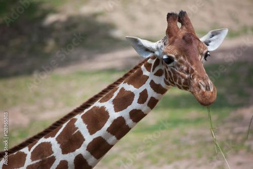 Plakát, Obraz Reticulated giraffe (Giraffa camelopardalis reticulata).