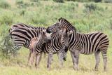 Plains zebra (Equus quagga) herd