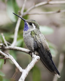 A Male Blue-throated Hummingbird on a Branch