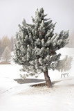 nel paesaggio alpino,in primo piano il pino coperto di neve