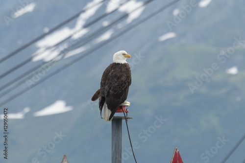Bald eagle perched at the entrance to Seward harbor in Alaska. Tablou Canvas