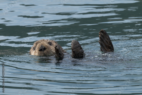 Poster Sea otter sinking out of sight as our boat passes by in Kenai Fj