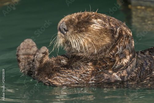 Sea otter stretching after a rest in Seward harbor, Alaska. Poster