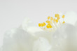 Beautiful White Jasmine Flowers Macro With Copy Space