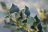 foglie verdi di agrifoglio coperte dal gelo