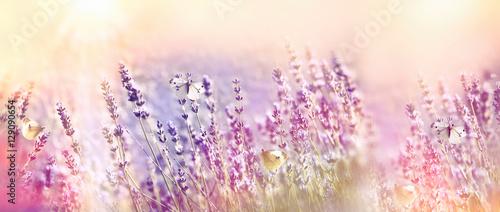 Beautiful flower garden - lavender garden and white butterfly