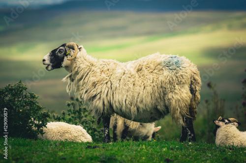 Scottish Blackface sheep Poster