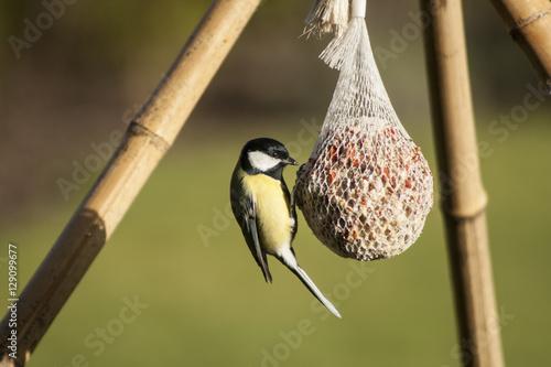 Poster Great tit (Parus major) on bird feeder