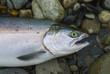 Fresh caught Alaskan silver king sockeye salmon ready to be cleaned