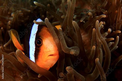Poster Clownfish anemonefish fish