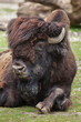 Wood bison (Bison bison athabascae).