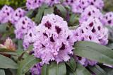 Rhododendron (Azalea) flowers