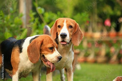 Aluminium Hond beagle dog outdoors