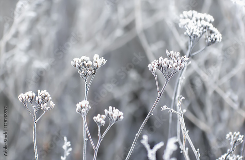 Hoarfrost On The Plants In Winter Field - 129148852