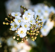 Blooming Spiraea shrub