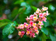 Bunch of pink flowers of the horse-chestnut tree