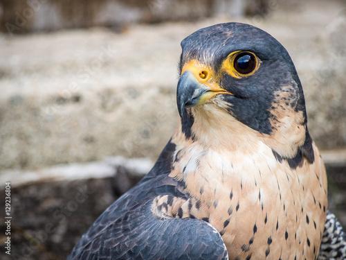 Poster Peregrine Falcon portrait (Falco peregrinus)