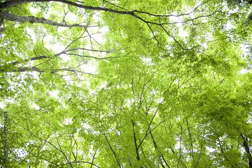 Fototapeta 新緑の楓の森