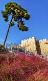 Pink Flowers City Walls Near Lions Gate Jerusalem Israel
