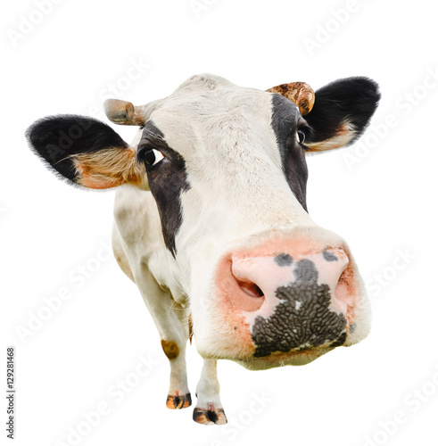 fototapeta na ścianę Funny cute cow isolated on white. Talking black and white cow close up. Funny curious cow. Farm animals. Pet cow on white. Cow close looking at the camera