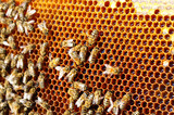 Bees work on honeycomb. Honey cells pattern. Apiculture.