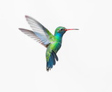 Fototapety Broad Billed Hummingbird. Using different backgrounds the bird becomes more interesting and blends with the colors. These birds are native to Mexico and brighten up most gardens where flowers bloom.