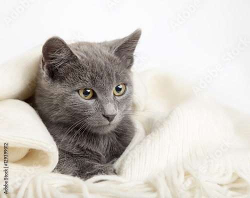 Poster gray kitten wrapped in a blanket, smoky cat in blanket on a gray
