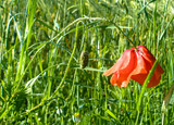 the red poppy was hiding in the grass