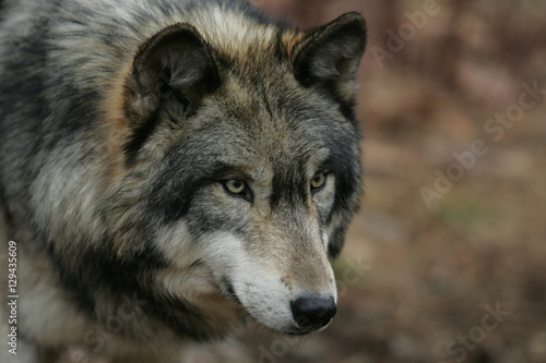 North American Gray Wolf Poster