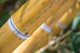gros bambous dans une bambouseraie