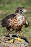 A saker falcon (Falco cherrug) trained for falconry